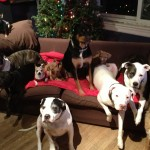 The whole pack one Christmas, (plus a couple naughty fosters)